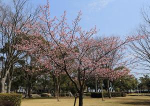 画像:河津桜1