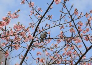 画像:河津桜2