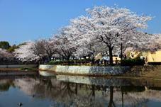 画像:乙戸沼公園(桜)