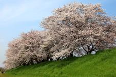 画像:桜川堤(桜)