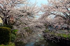 画像:新川堤(桜)