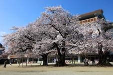 画像:真鍋小学校(桜)