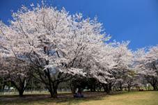 画像:神立公園(桜)