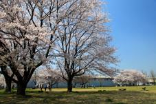 画像:中貫公園(桜)