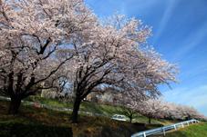 画像:土浦三高(桜)