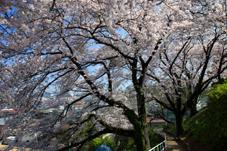 画像:土浦市役所(桜)