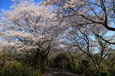 画像:竜ヶ峰(桜)