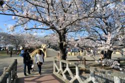 土浦の桜(乙戸沼公園)