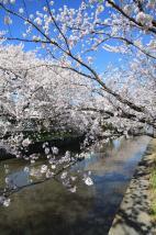 『土浦の桜(新川)』の画像