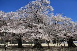 土浦の桜(真鍋小学校)