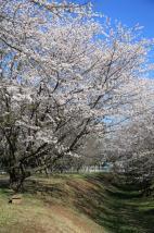 土浦の桜(神立公園)