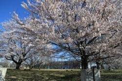土浦の桜(中貫公園)