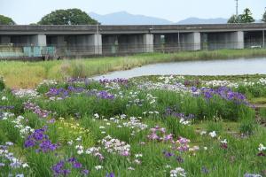 『花菖蒲03』の画像