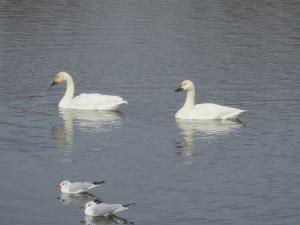『乙戸沼白鳥飛来写真(H28.12.26)』の画像