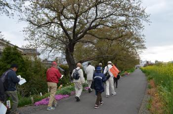 『まちなかウォッチング(4月7日)桜川堤を歩く』の画像
