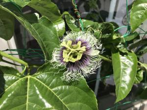 『時計のような、パッションフルーツの花』の画像