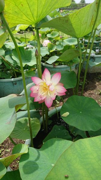 『H30蝶恋花』の画像