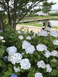 『6.13紫陽花』の画像