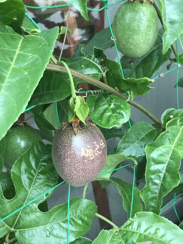 『パッションフルーツの実が赤くなりました。』の画像