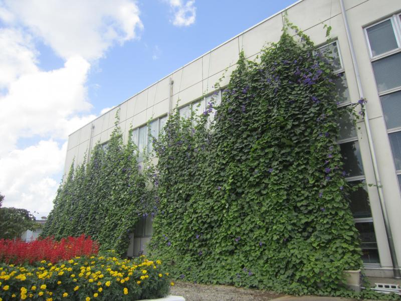 『グリーンカーテンが屋上まで到達しました。』の画像