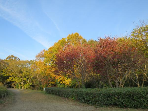『ヤマボウシとアベマキの紅葉』の画像