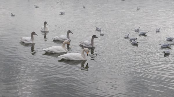 『『白鳥【H31.1.10】』の画像』の画像