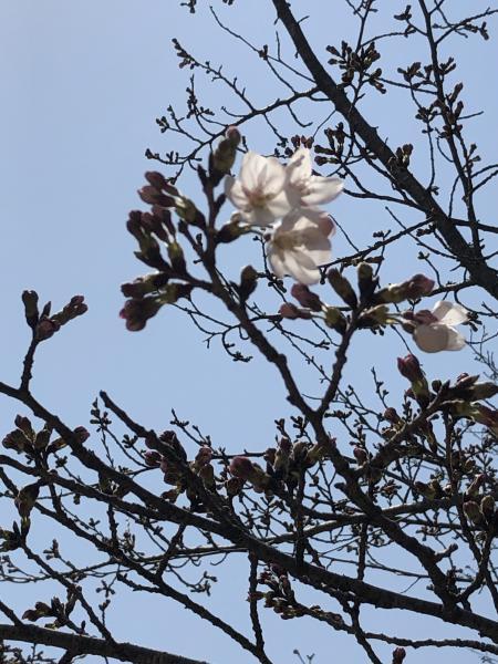『『『公園内桜』の画像』の画像』の画像