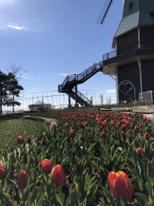 『2019.4.1風車チューリップ2』の画像