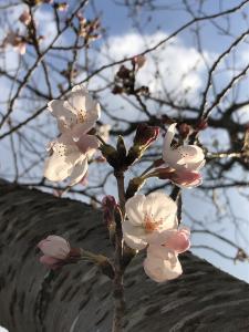 『2019.4.3桜2』の画像