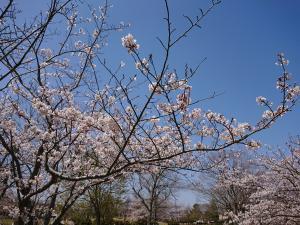 『2019.桜』の画像