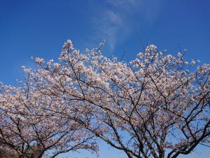 『2019.4.13桜』の画像