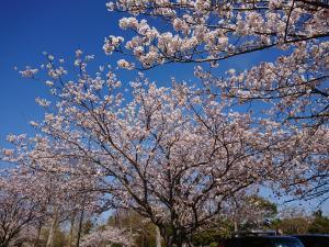 『2019.4.13桜(2)』の画像