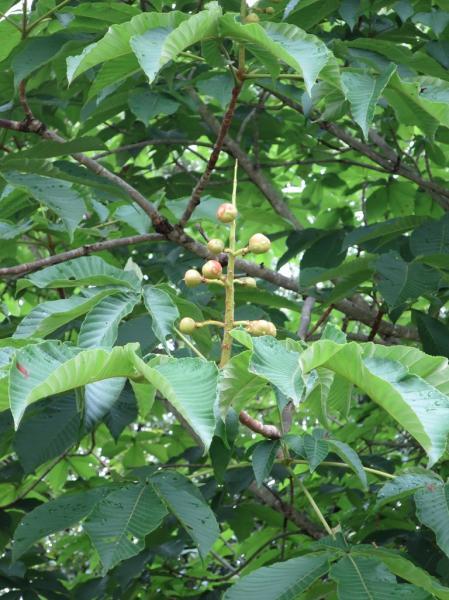 『『トチノキの果実』の画像』の画像