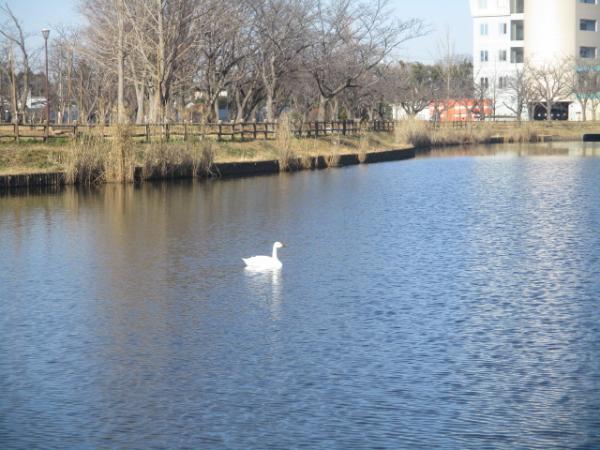 『白鳥(1)』の画像