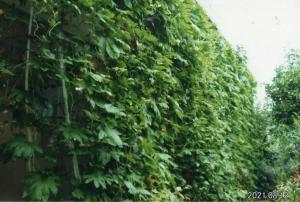 R3グリーンカーテン飯村様