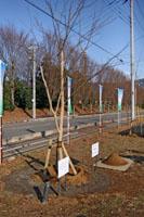 真鍋小学校のクローン桜