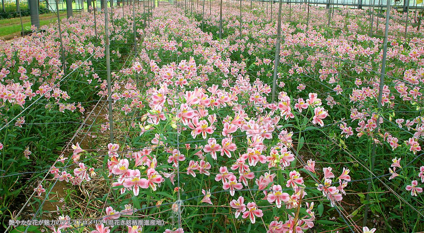 艶やかな花が魅力のアルストロメリア(県花き銘柄推進産地)